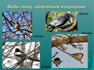 Виды птиц, замеченные в кормушке. Сорока Воробьи Синички Ворона