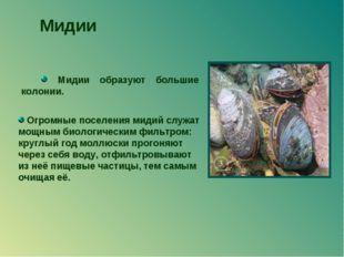 Мидии образуют большие колонии. Мидии Огромные поселения мидий служат мощным
