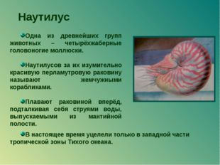 Наутилус Одна из древнейших групп животных – четырёхжаберные головоногие молл