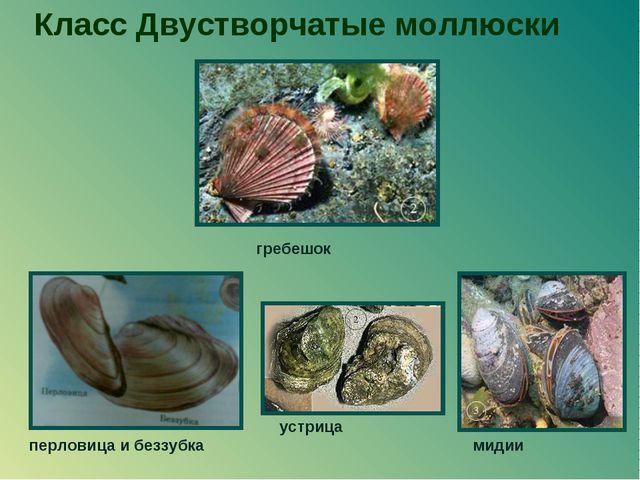 Класс Двустворчатые моллюски мидии перловица и беззубка гребешок устрица
