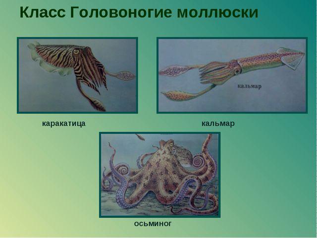 Класс Головоногие моллюски кальмар каракатица осьминог