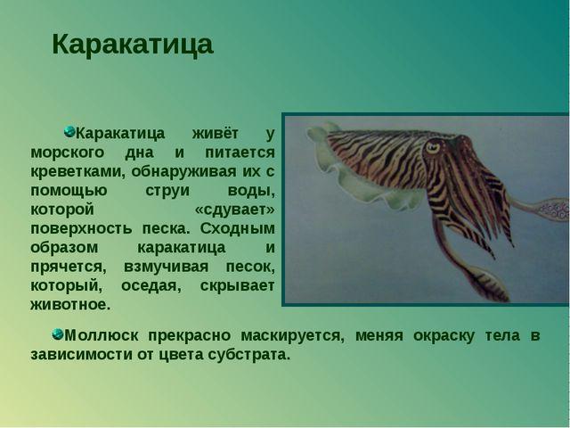 Каракатица Каракатица живёт у морского дна и питается креветками, обнаруживая...