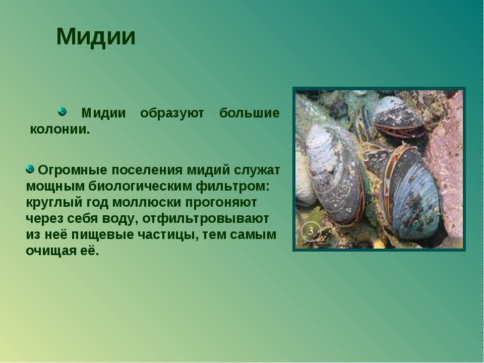 Мидии образуют большие колонии. Мидии Огромные поселения мидий служат мощным...