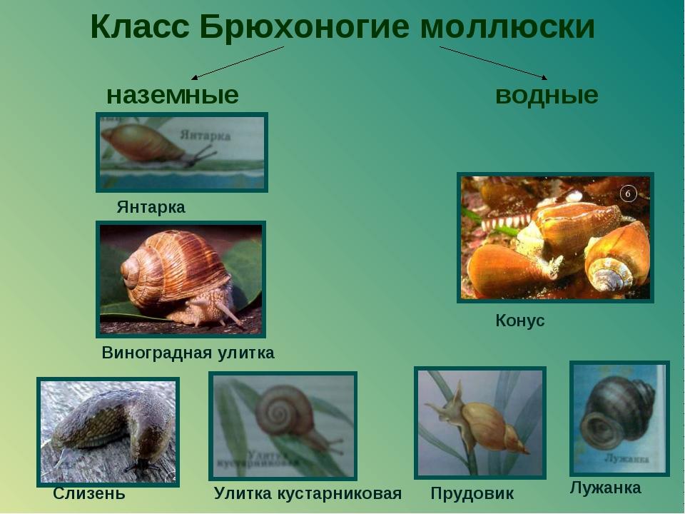 Класс Брюхоногие моллюски наземные водные Прудовик Конус Виноградная улитка С...