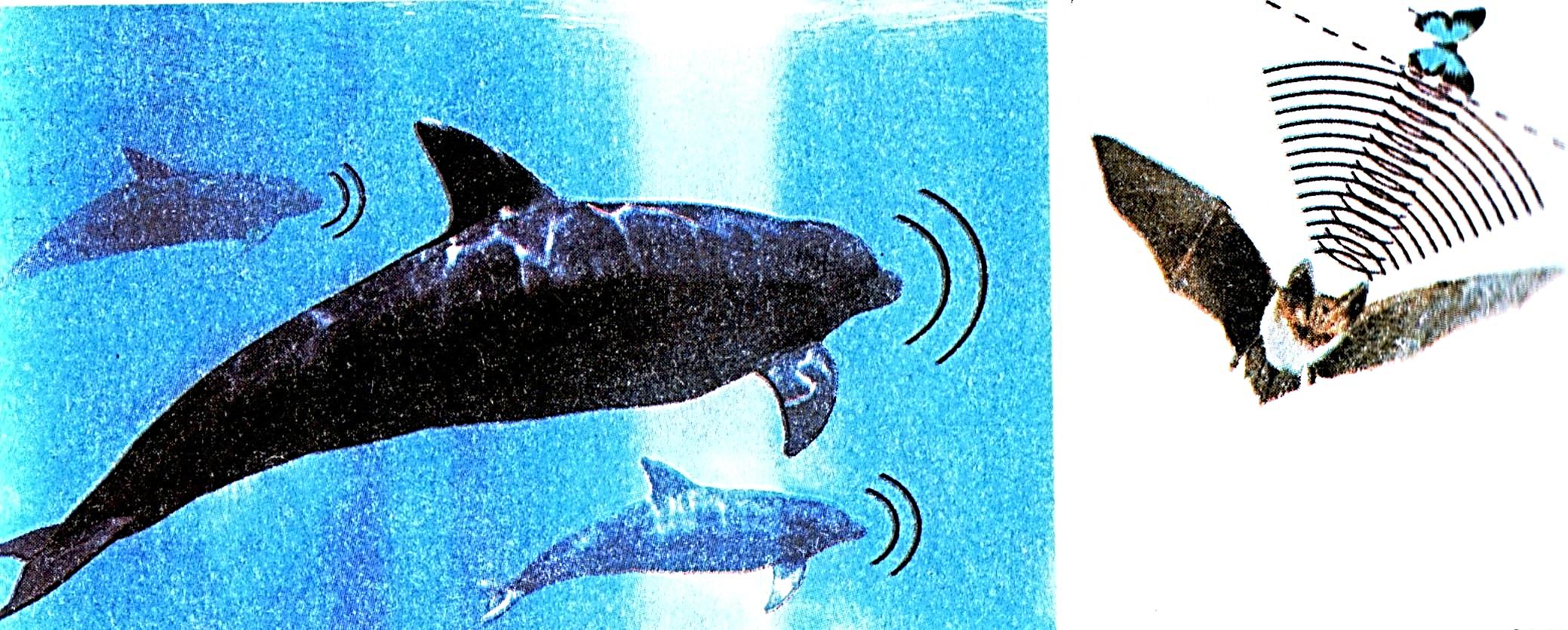 E:\школа\5 клас\природознавство\картинки\світ явищ, в якому живе людина\використання ультразвуку живими істотами.jpg