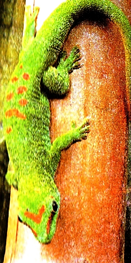 E:\школа\5 клас\природознавство\картинки\світ явищ, в якому живе людина\мадагаскарський деревний гекон.jpg