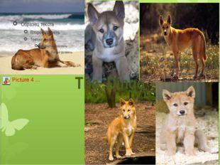 The Dingo
