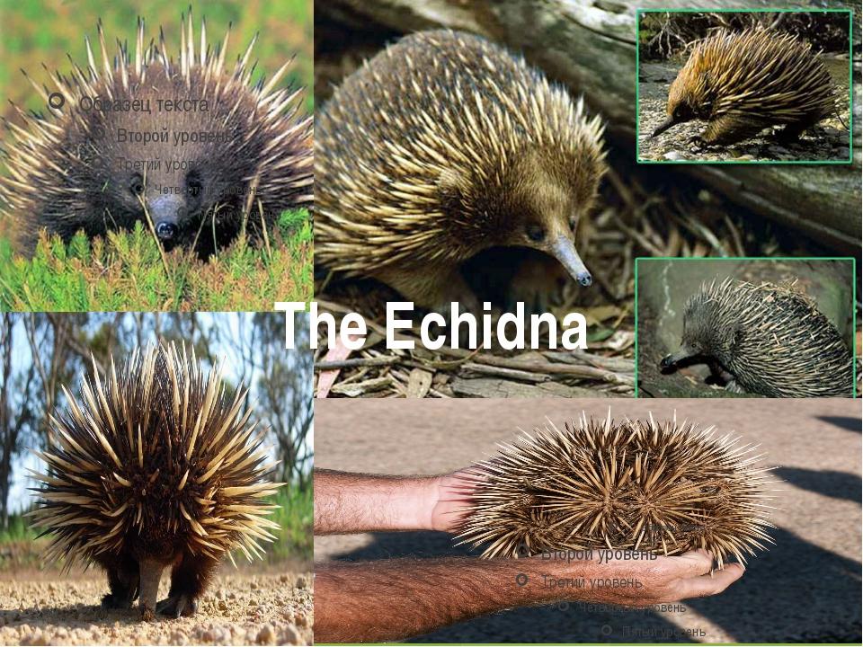 The Echidna