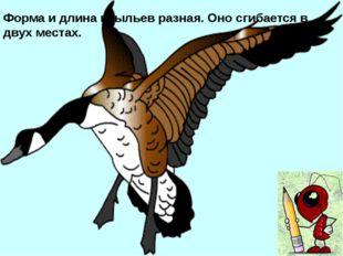 Хвост значительно увеличивает грузоподъемность птицы. Он позволяет ей парить