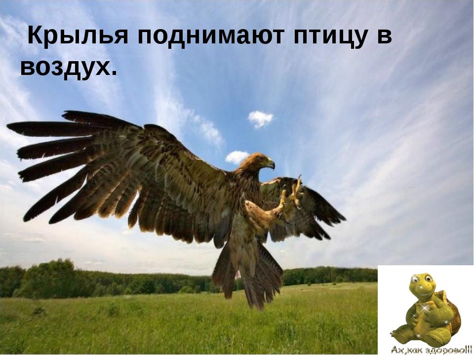 Крыло по своему строению напоминает руку.