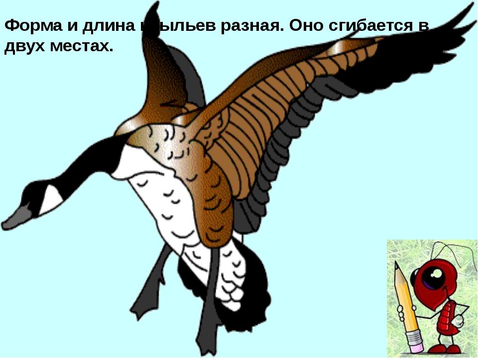 Хвост значительно увеличивает грузоподъемность птицы. Он позволяет ей парить...
