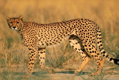 http://cdn.allwallpaper.in/wallpapers/1152x864/13987/animals-leopards-wildlife-1152x864-wallpaper.jpg