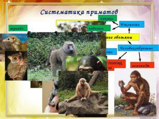 Систематика приматов Отряд Приматы Полуобезьяны Высшие обезьяны тупайи долгоп
