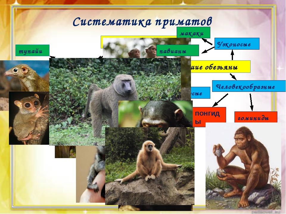 Систематика приматов Отряд Приматы Полуобезьяны Высшие обезьяны тупайи долгоп...