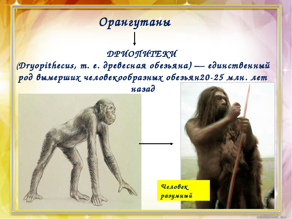 Орангутаны ДРИОПИТЕКИ (Dryopithecus, т. е. древесная обезьяна) — единственный...
