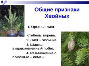 Общие признаки Хвойных 1. Органы: лист, стебель, корень. 2. Лист – хвоинка. 3