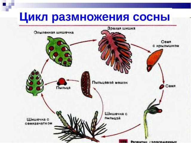 Цикл размножения сосны