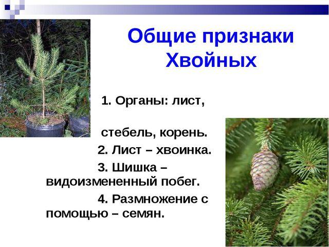 Общие признаки Хвойных 1. Органы: лист, стебель, корень. 2. Лист – хвоинка. 3...