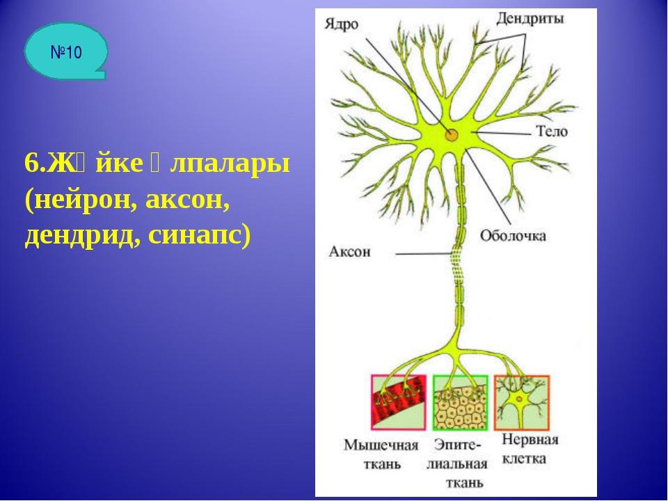 6.Жүйке ұлпалары (нейрон, аксон, дендрид, синапс) №10