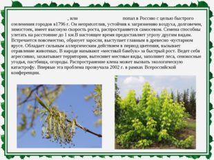 Клён ясенели́стный, илиамерика́нский попал в Россию с целью быстрого озелен