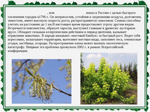 Клён ясенели́стный, илиамерика́нский попал в Россию с целью быстрого озелен...