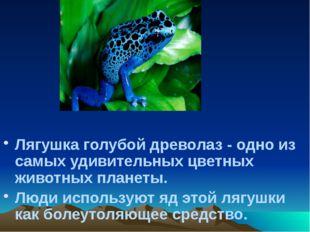 Лягушка голубой древолаз - одно из самых удивительных цветных животных планет