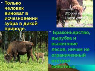 Только человек виноват в исчезновении зубра в дикой природе. Браконьерство, в