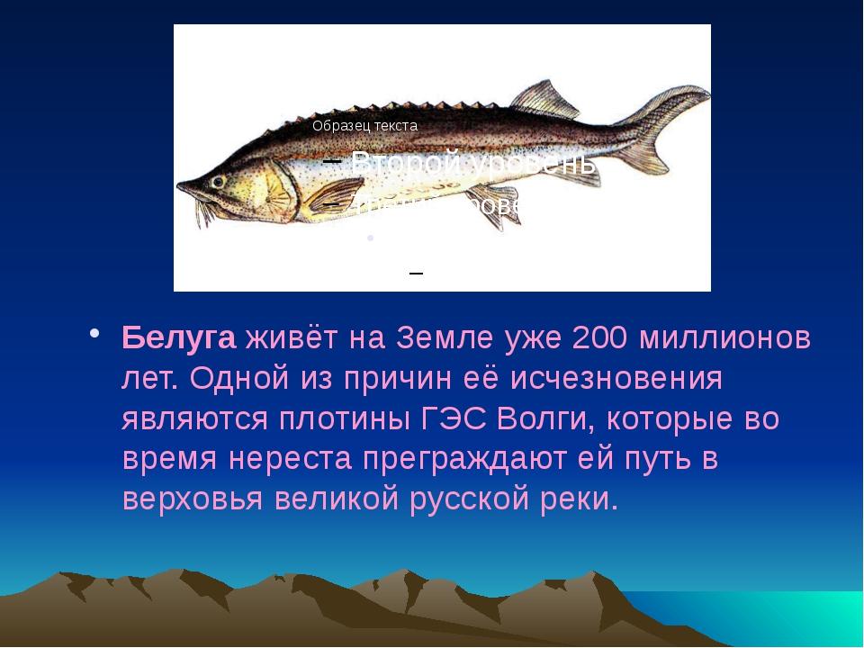 Белуга живёт на Земле уже 200 миллионов лет. Одной из причин её исчезновения...