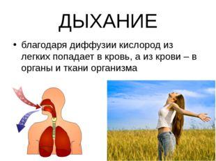 ДЫХАНИЕ благодаря диффузии кислород из легких попадает в кровь, а из крови –