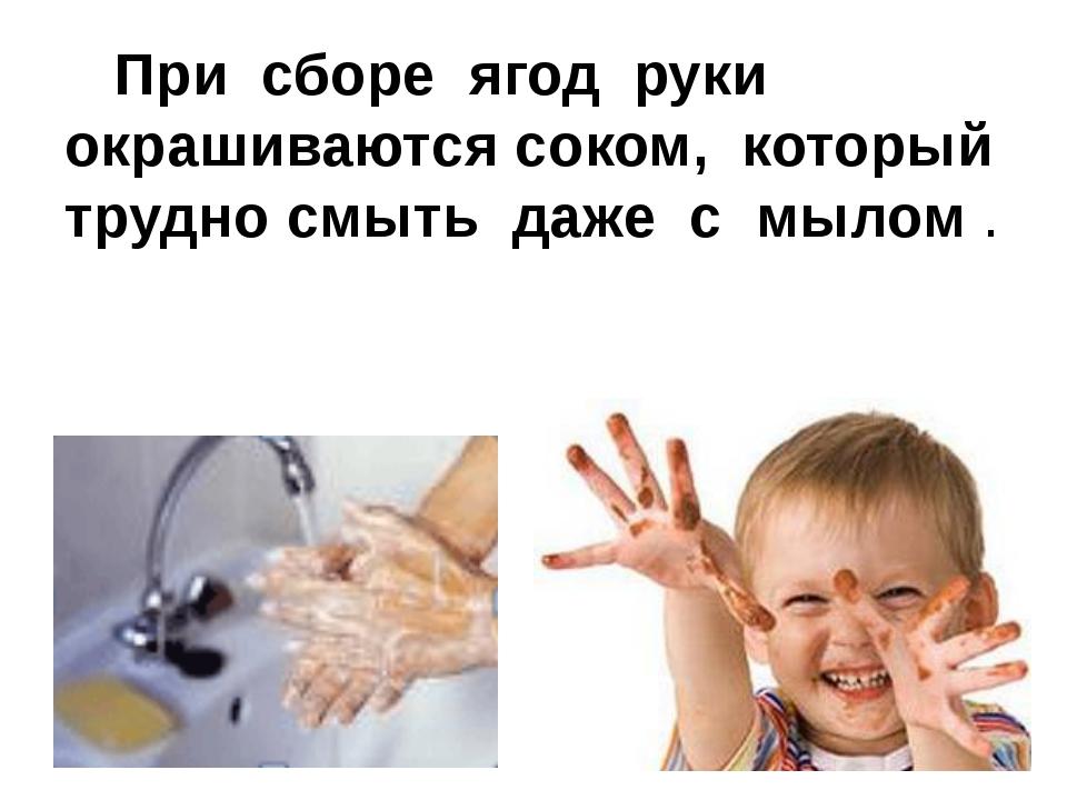 При сборе ягод руки окрашиваются соком, который трудно смыть даже с мылом .