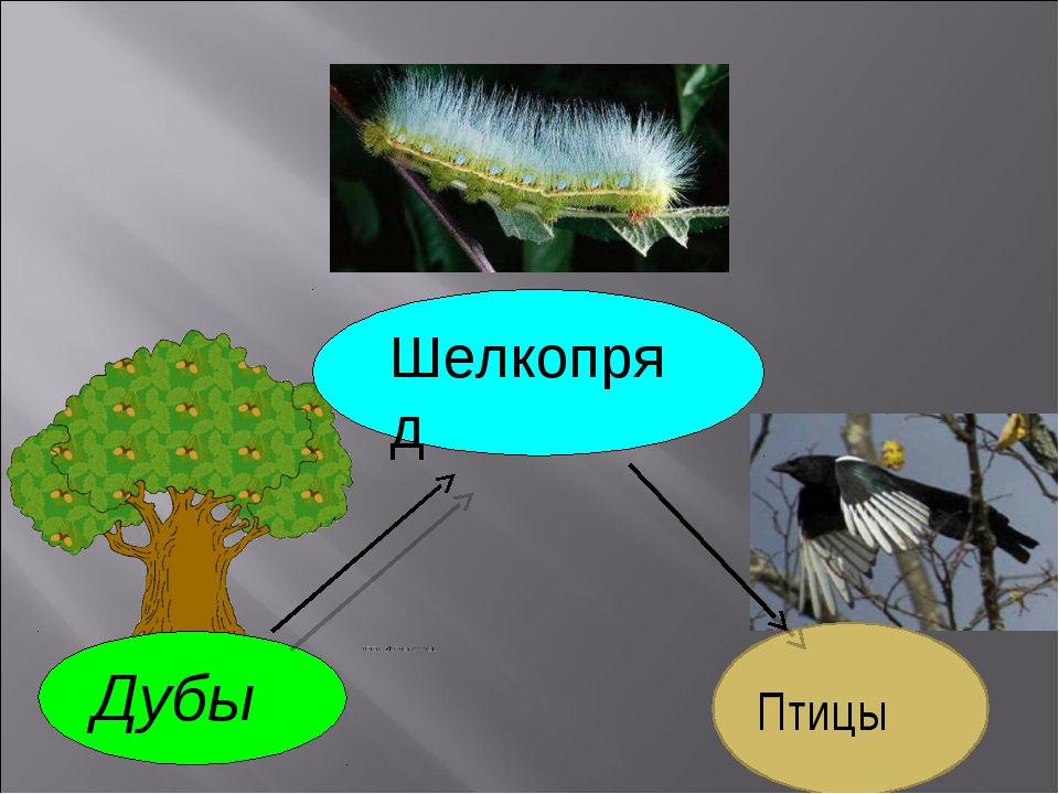 Дубы Шелкопряд Птицы