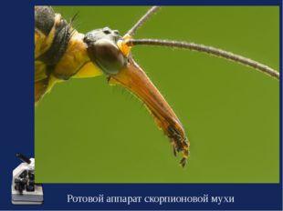 Ротовой аппарат скорпионовой мухи