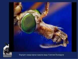 Портрет самца паука-скакуна вида Хентзия Палмарум