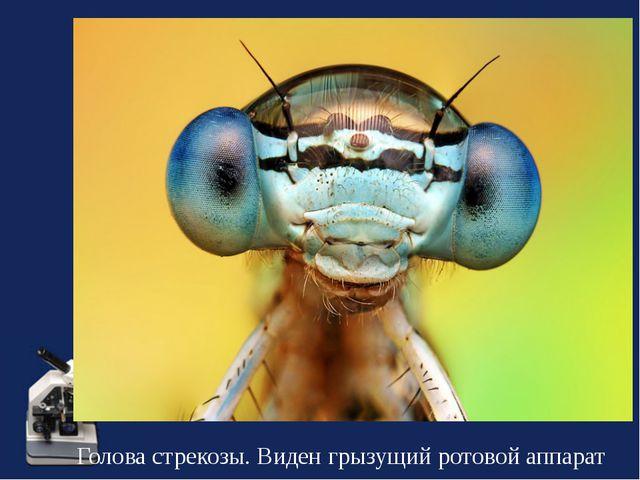 Голова стрекозы. Виден грызущий ротовой аппарат