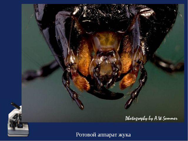 Ротовой аппарат жука