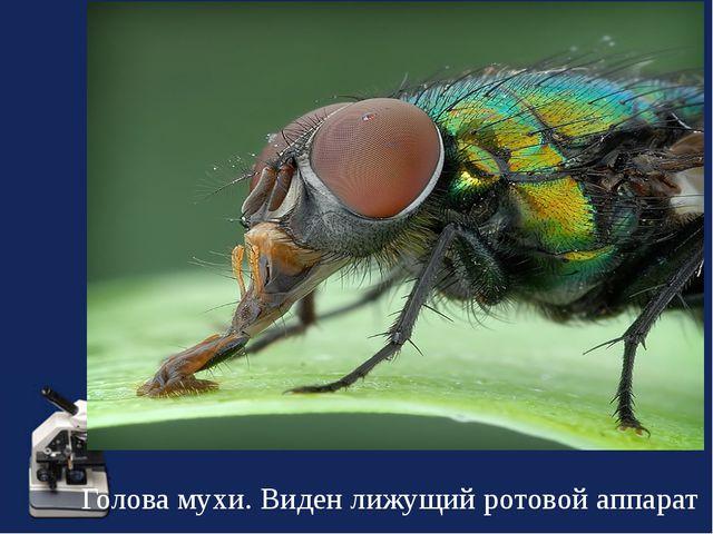 Голова мухи. Виден лижущий ротовой аппарат