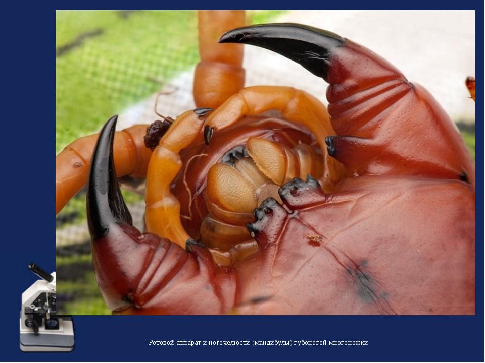 Ротовой аппарат и ногочелюсти (мандибулы) губоногой многоножки