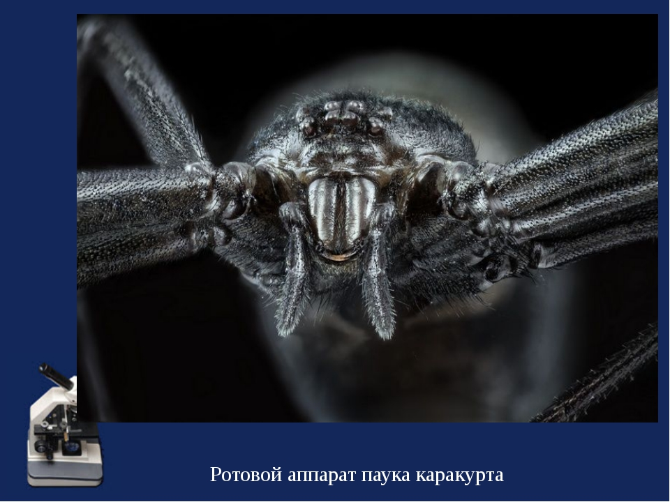 Ротовой аппарат паука каракурта