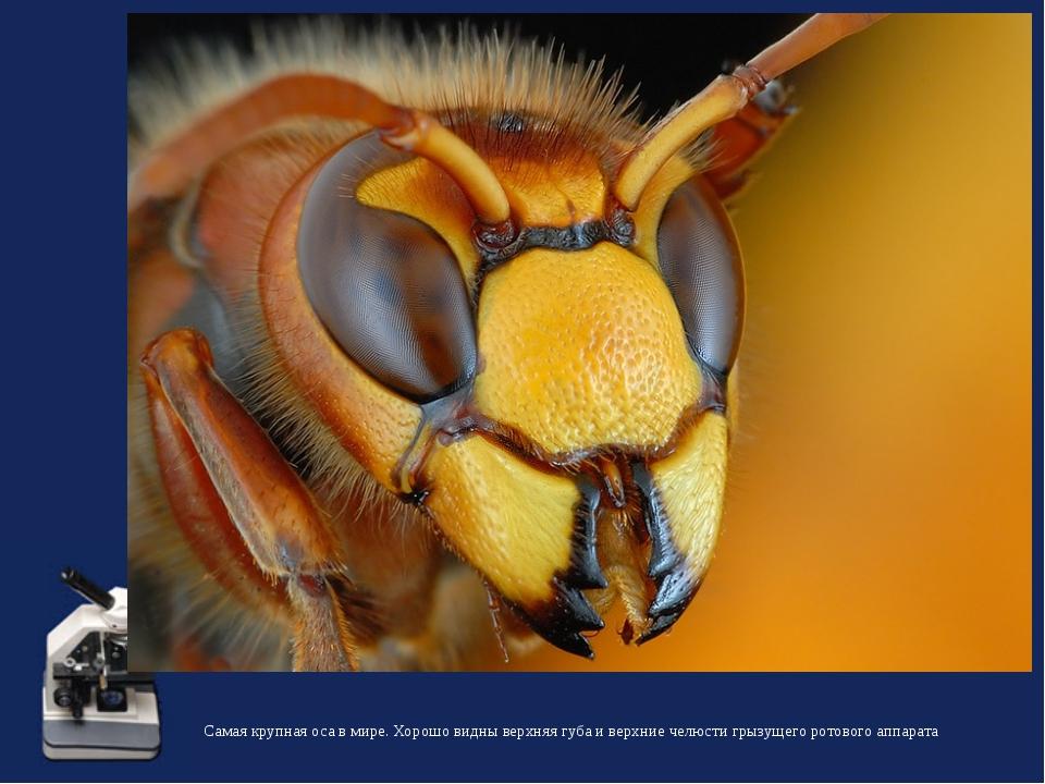 Самая крупная оса в мире. Хорошо видны верхняя губа и верхние челюсти грызуще...