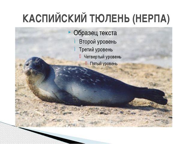 КАСПИЙСКИЙ ТЮЛЕНЬ (НЕРПА)