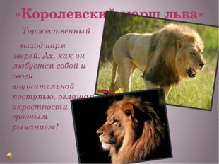 «Королевский марш льва» Торжественный выход царя зверей. Ах, как он любуется