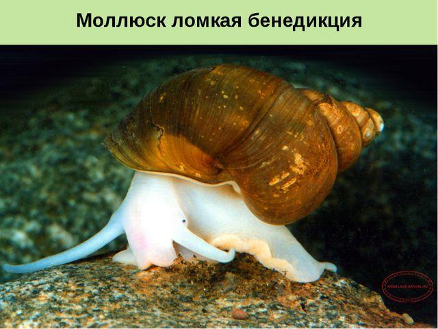 Моллюск ломкая бенедикция
