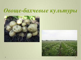 Овоще-бахчевые культуры