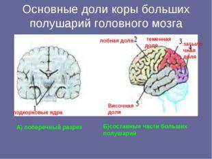 Основные доли коры больших полушарий головного мозга А) поперечный разрез Б)с