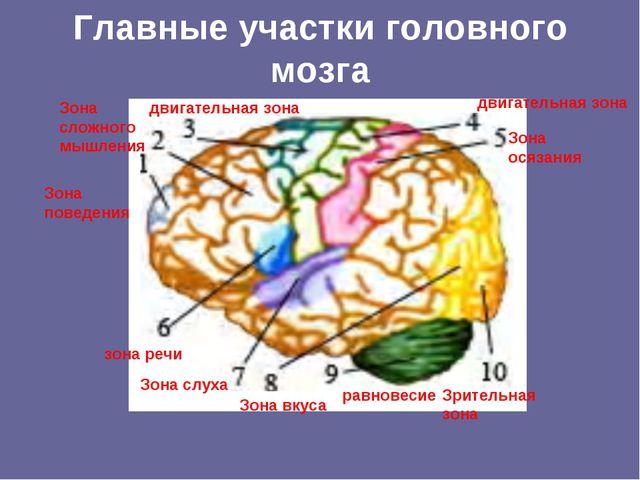 Главные участки головного мозга Зона поведения Зона сложного мышления двигате...