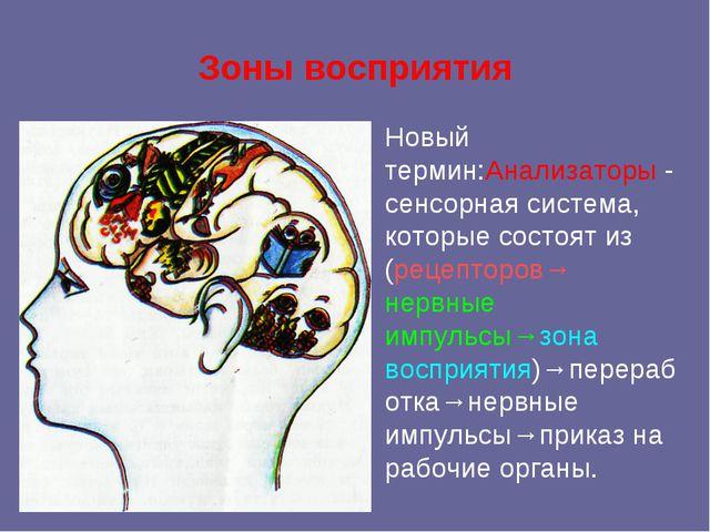 Зоны восприятия Новый термин:Анализаторы - сенсорная система, которые состоят...