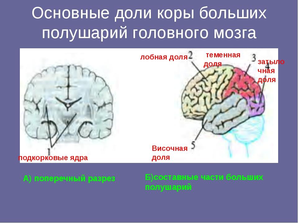 Основные доли коры больших полушарий головного мозга А) поперечный разрез Б)с...