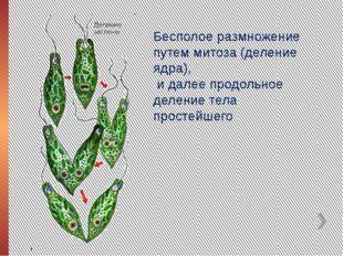 Бесполое размножение путем митоза (деление ядра), и далее продольное деление