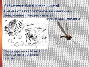 Лейшмании (Leishmania tropica) Вызывают тяжелое кожное заболевание – лейшмани