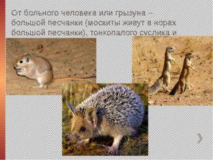 От больного человека или грызуна – большой песчанки (москиты живут в норах бо